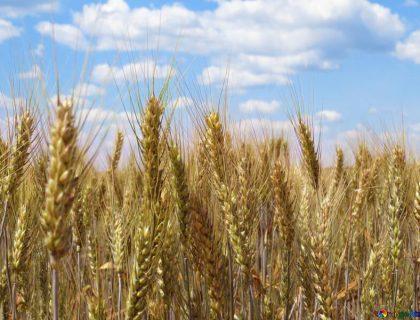 Да купите зърно никога не е било по-лесно